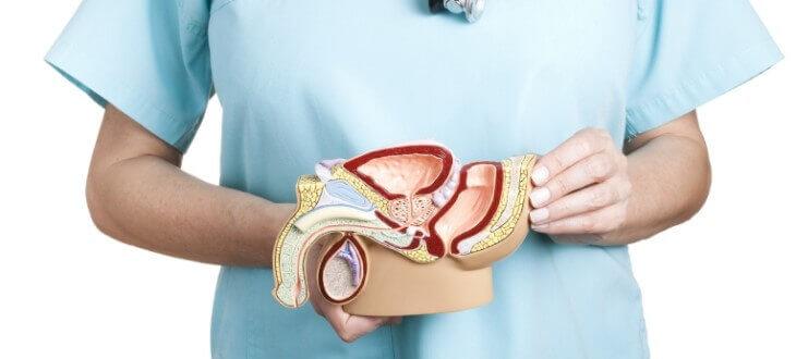 Stercze, gruczoł krokowy, prostata - co to jest?